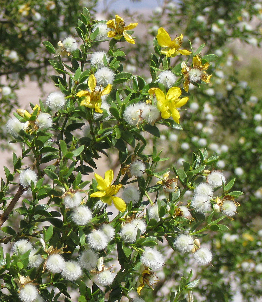 Creosote-bush_Larrea_tridentata_flowersseeds.jpg