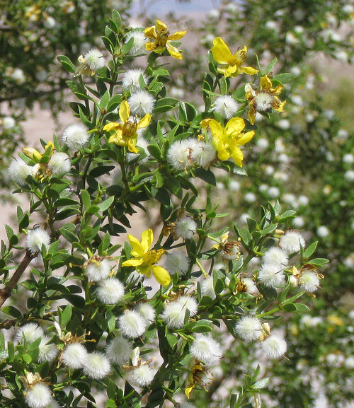 Larrea Tridentata1g $8 - Creosote Bush