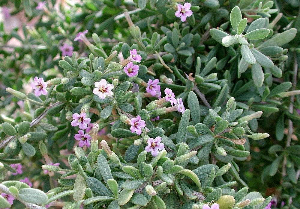 Lycium fremontii1g $8 - Fremont's Wolfberry