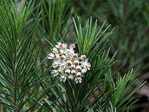 Asclepias linaria1g $8 - Pineleaf milkweed