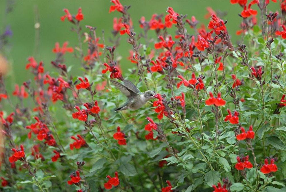 Salvia greggii1g $8 - Autumn Sage
