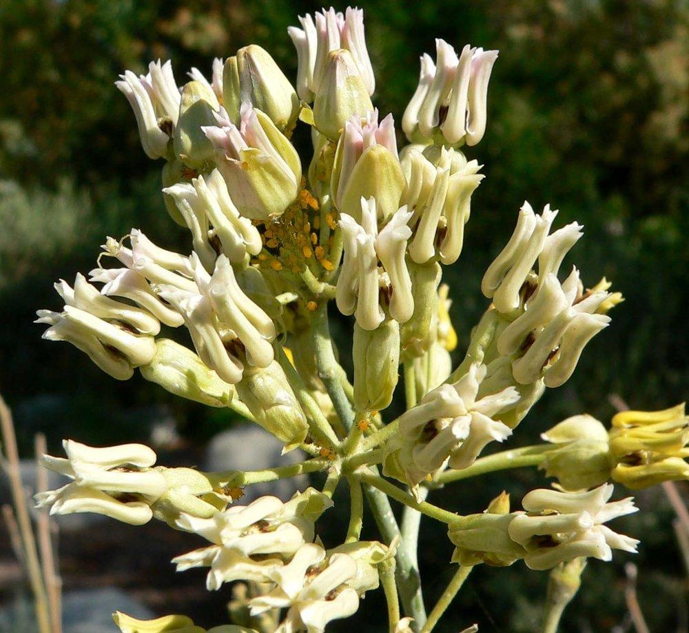 Asclepias subulata1g $8 - Desert Milkweed