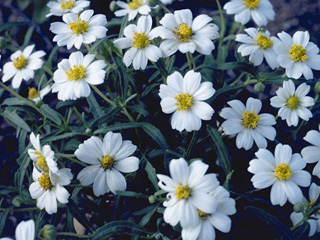 melampodium leucanthum1g $8 - blackfoot daisy