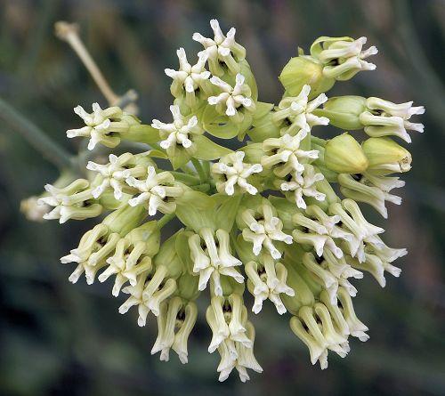 asclepias-subulata-flower.jpg