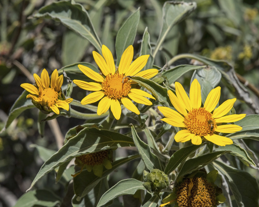 Tithonia fruticosa5g $22 - Mexican Tree Sunflower