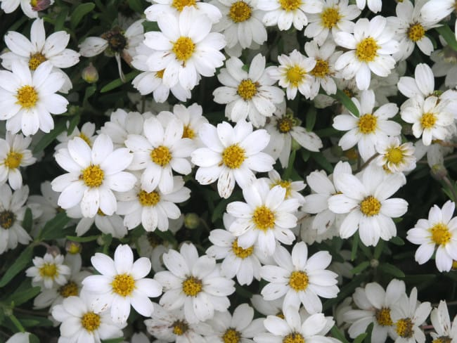 1488996744Blackfoot-Daisy-Melampodium-leucanthum-bloom-detail.jpg