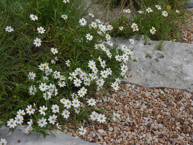 melampodium-leucanthum-blackfoot-daisy-rock-garden-landscape.jpg
