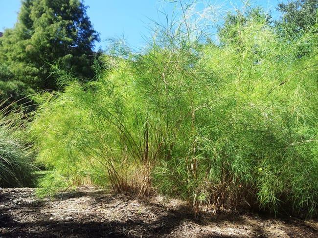 1488570727Muhly-Bamboo-Muhlenbergia-dumosa-form-SAWS-6-2013.jpg