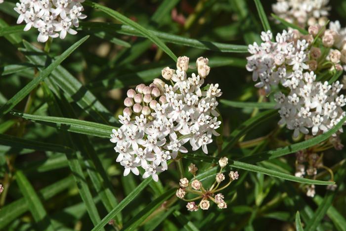 0864Asclepias-angustifolia,-Arizona-Milkweed700x467.jpg