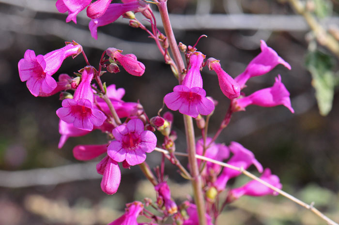 4005Penstemon-parryi,-Parry's-Beardtongue700x465.jpg