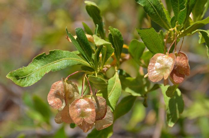 0284Dodonaea-viscosa,-Florida-Hopbush700x464.jpg