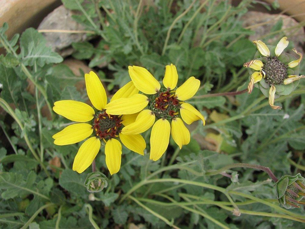 Berlandera lyrata1g $8 - chocolate flower