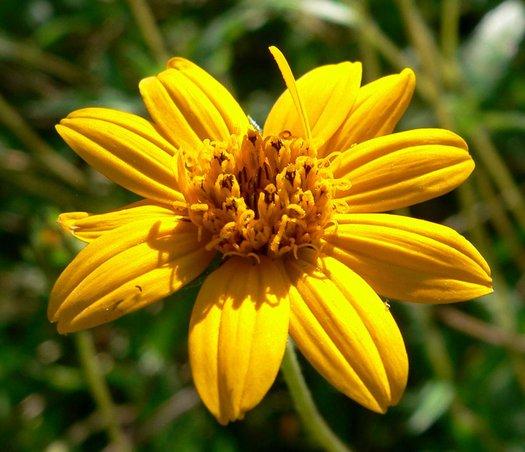 Wedelia acapulcensis var. hispida1g $8 - creeping oxeye