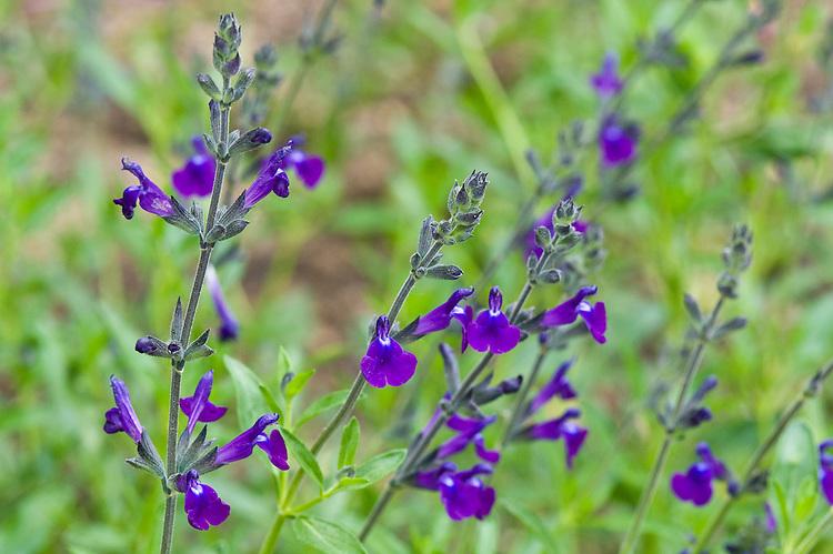 100618-771-Salvia-lycioides-x-greggii.jpg