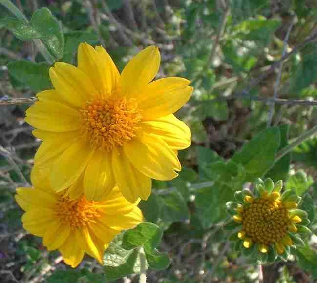 Bahiopsis parishii1g $8 - Parish's goldeneye