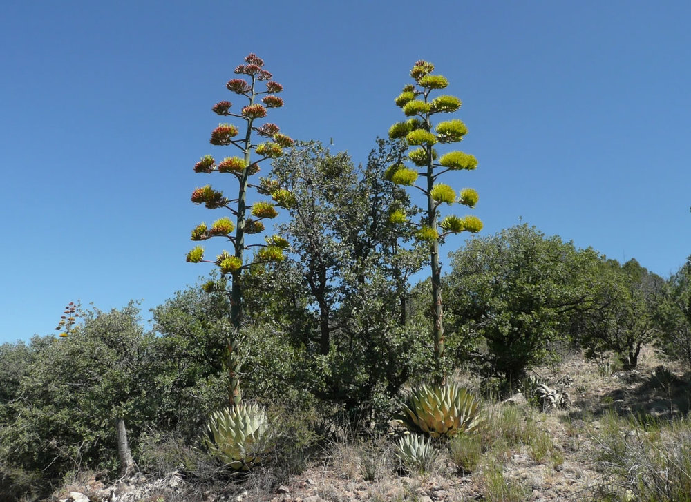agave_parryi4_lg.jpg