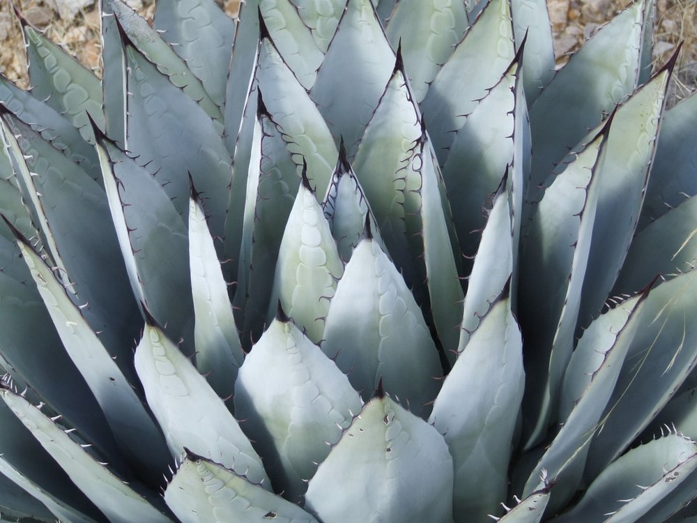 parry's agave1g $12 - agave parryi