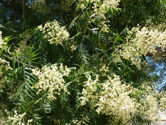 Sapindus saponaria flowers.JPG