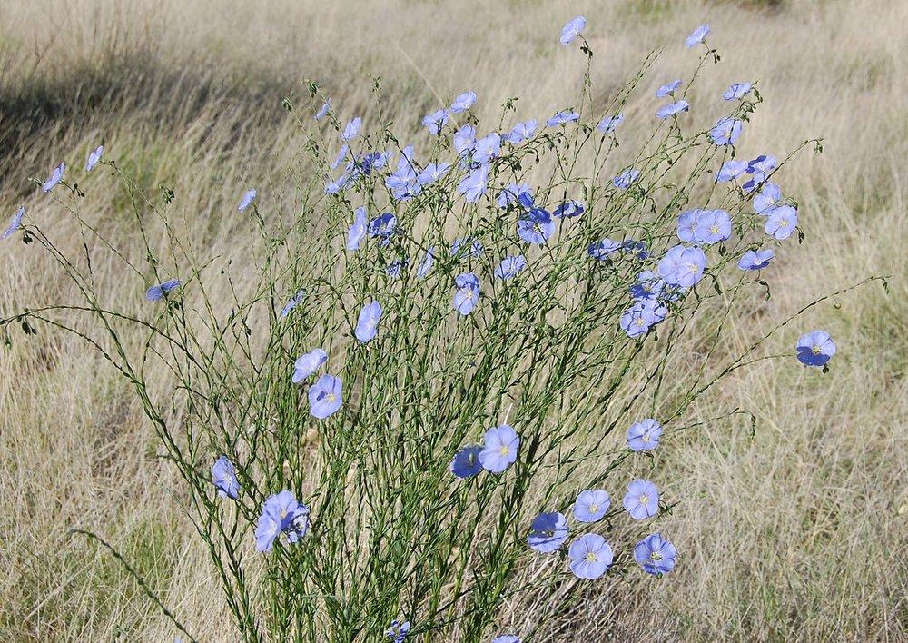 1200px-Linum_lewisii,_blue_flax,_Albuquerque.JPG