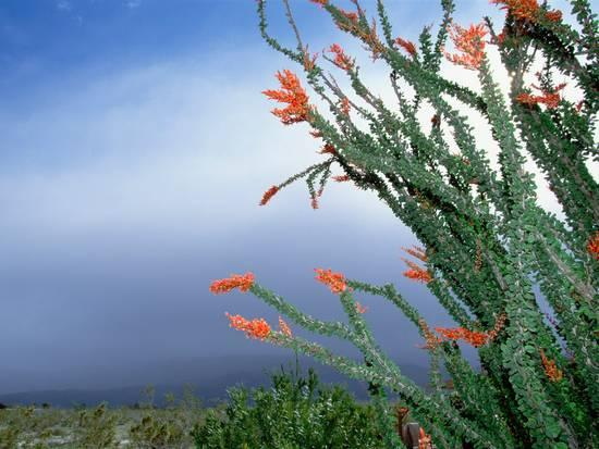 konrad-wothe-ocotillo-cactus-fouquieria-splendens-in-bloom-anza-borrego-desert-state-park-california_a-l-8633797-4990703.jpg