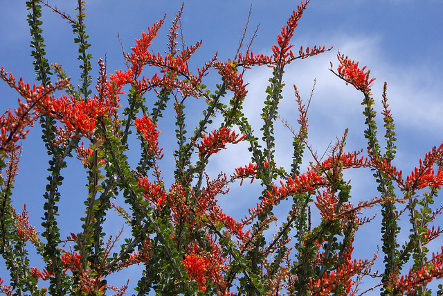 ocotillo flowers 2.jpg