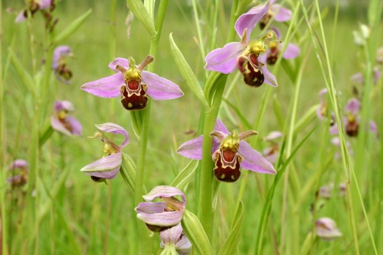 this bee orchid (Ophrys apifera) attracts male bees by producing a scent that mimics the scent of the female bee. In addition, the lip acts as a decoy as the male bee confuses it with a female. Pollen transfer occurs during the ensuing attempt at copulation