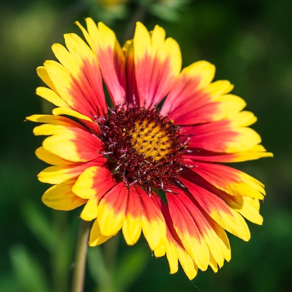 gaillardia aristata1g $8 - blanketflower