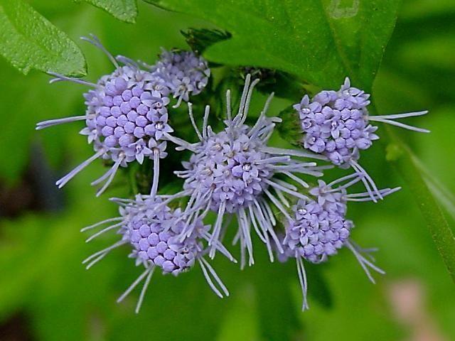 Conoclinium greggii1g $8 - butterfly mistflower