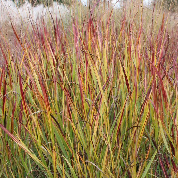 panicum virgatum 'shenandoah'1g $8 - switchgrass