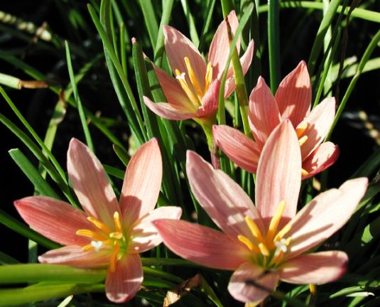 coral lily1g $8 - zephyranthus 'prairie sunset'