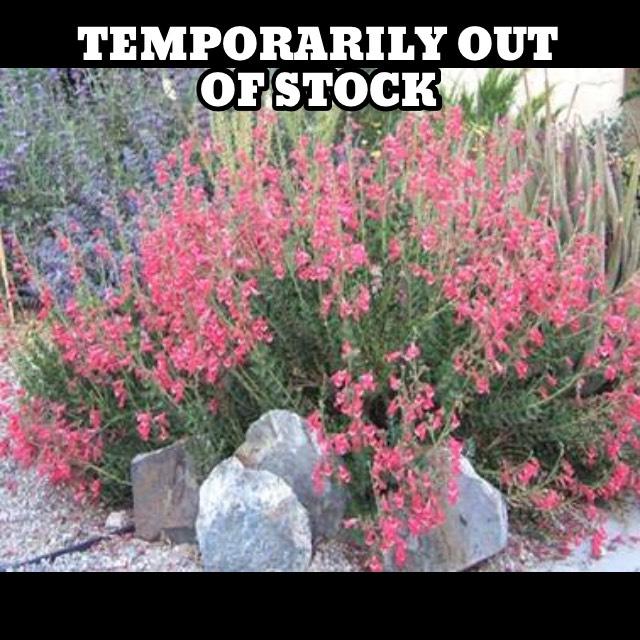 penstemon superbus1g $8 - coral penstemon