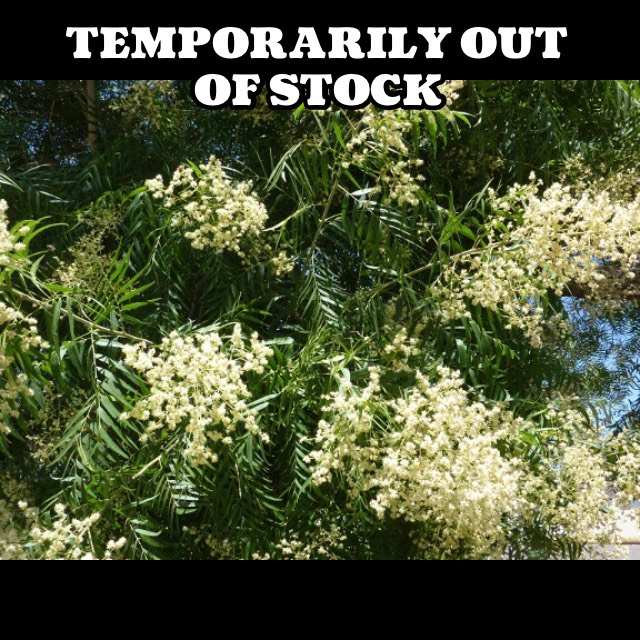 sapindus saponaria var. drummondii5g $22 - western soapberry