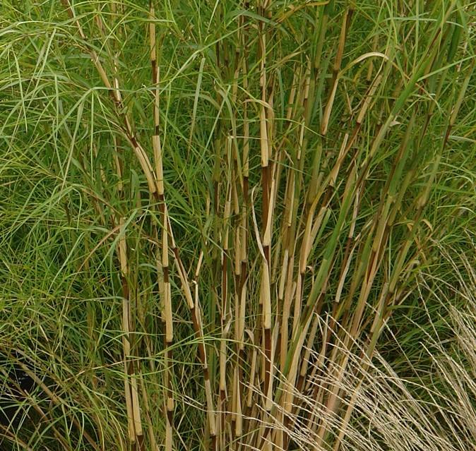 muhlenbergia dumosa5g $22 - Bamboo grass
