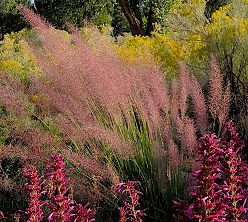 muhlenbergia X 'Pink flamingo)5g $22 - Pink flamingo grass