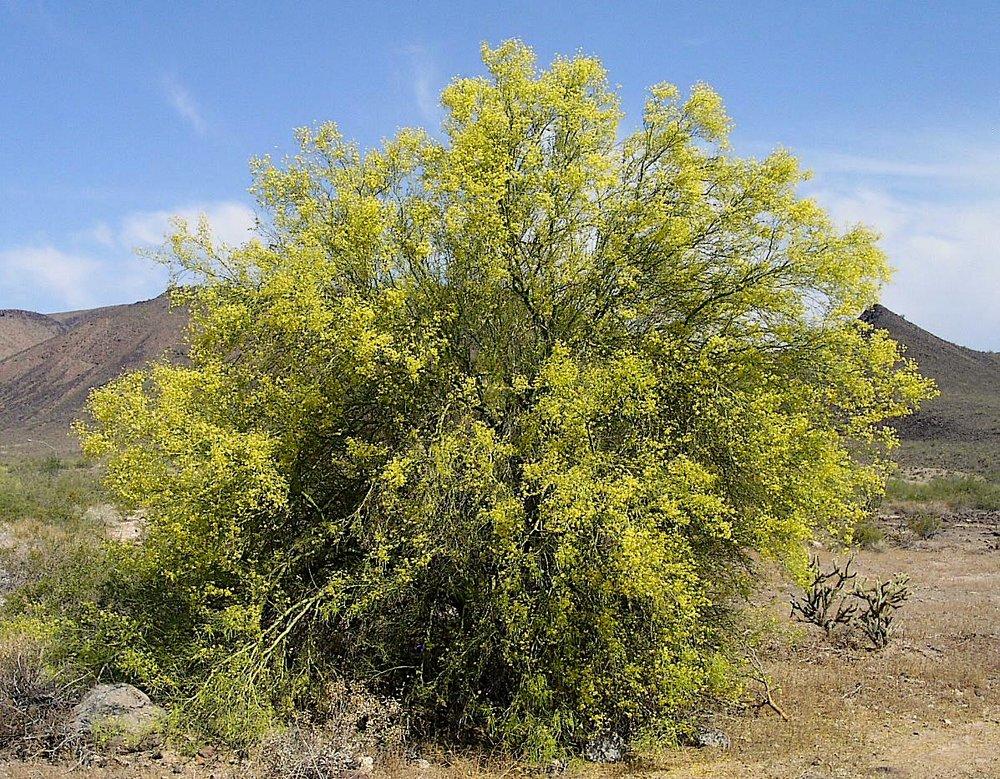 parkinsonia microphylla5g $25 - Foothillpalo verde