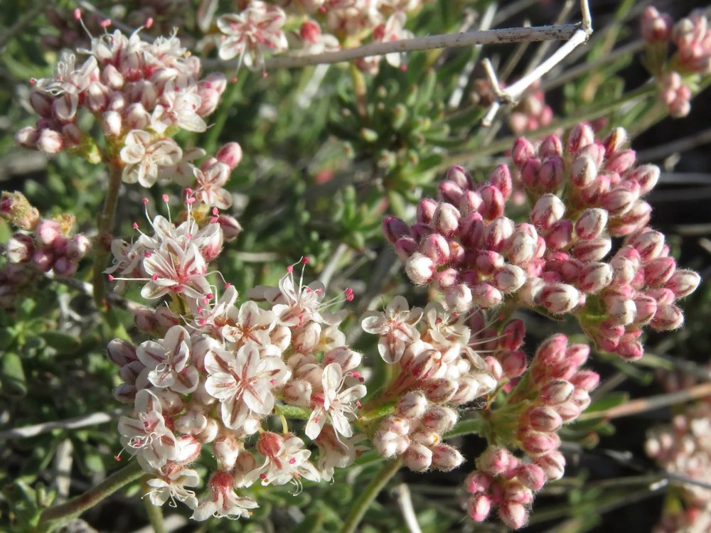eriogonum fasciculatum var. polifolium1g $8 - desert buckwheat