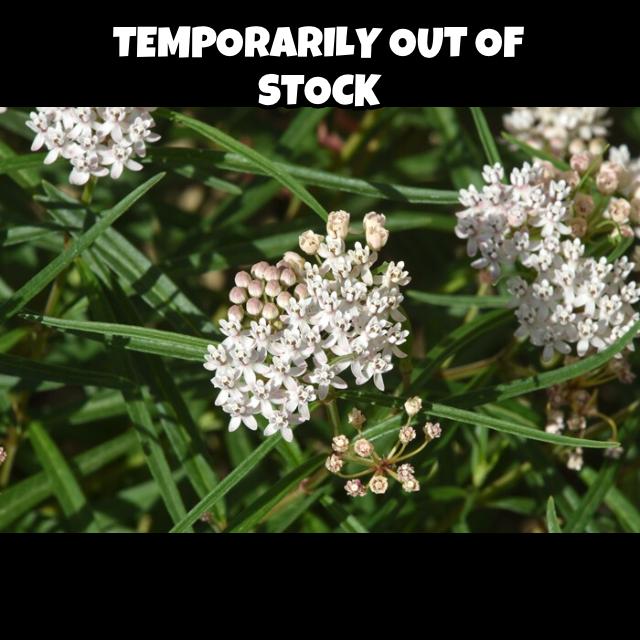 asclepias angustifolia1g $8 - arizona milkweed