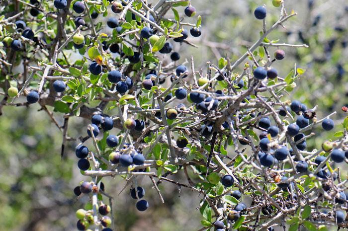 7126Ziziphus-obtusifolia, Lotebush700x465.jpg