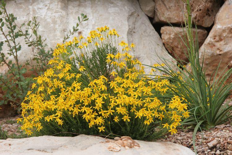 Chrysactinia mexicana-1.JPG