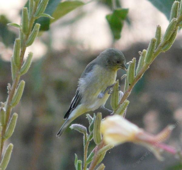 goldfinch eating seeds of Oenothera hookeri