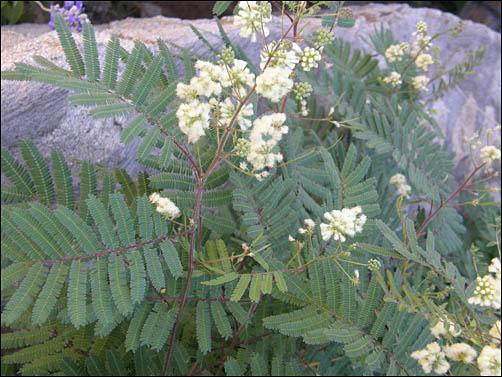 acaciella angustissima5g $24 - prairie acacia