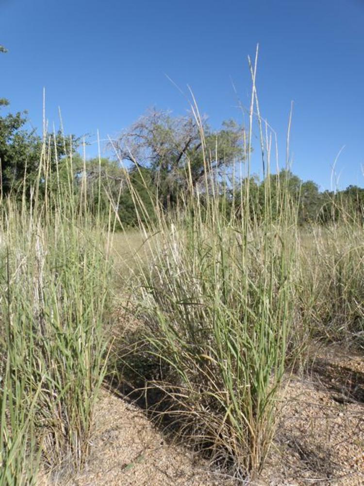 sporobolus contractus1g $8 - spike dropseed