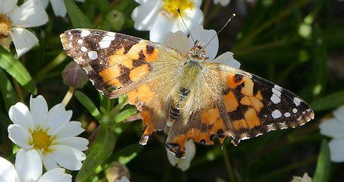 melampodium-leucanthum-butterfly.jpg