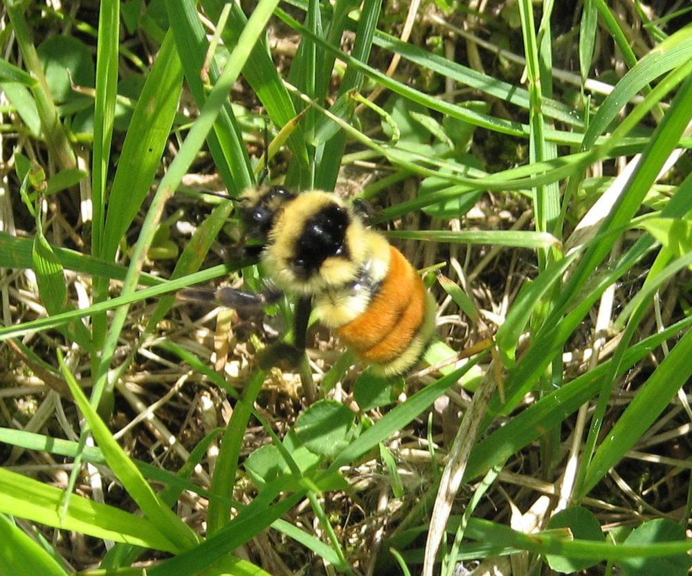 Orange-belted_Bumblebee.jpg