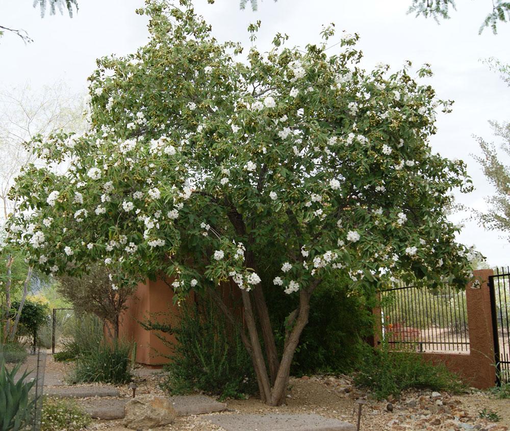 - Cordia boisseriTexas olive tree