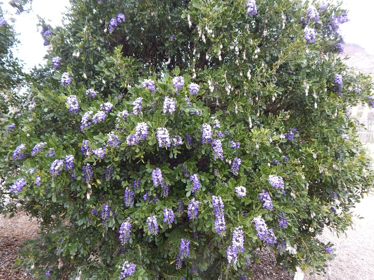 - Dermatophyllum secundiflorumtexas mountain laurel