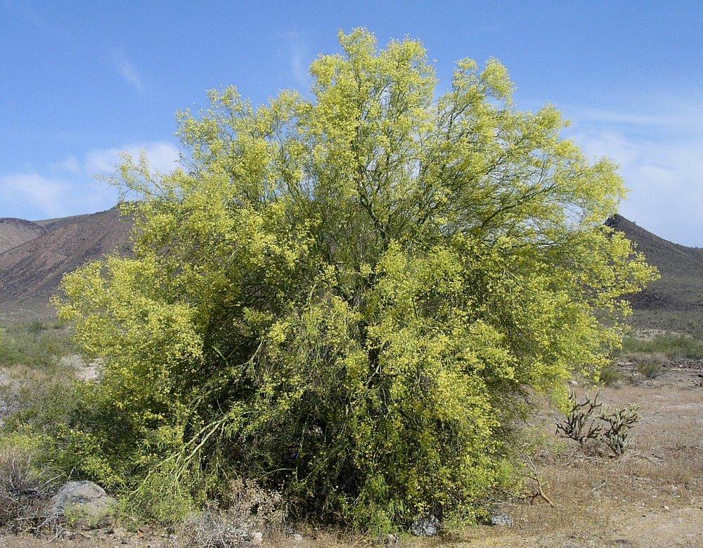 - Parkinsonia microphyllaFoothills palo verde