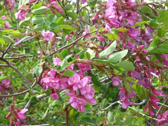 - Robinia neomexicanaNew Mexico Locust