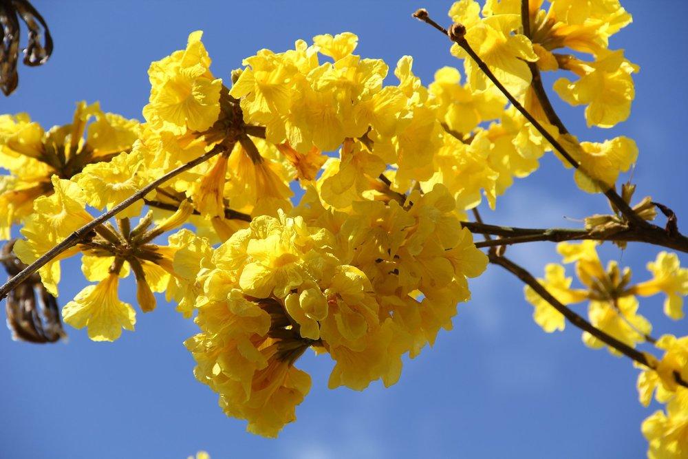 - Tabebuia chrysanthaamapa amarilla