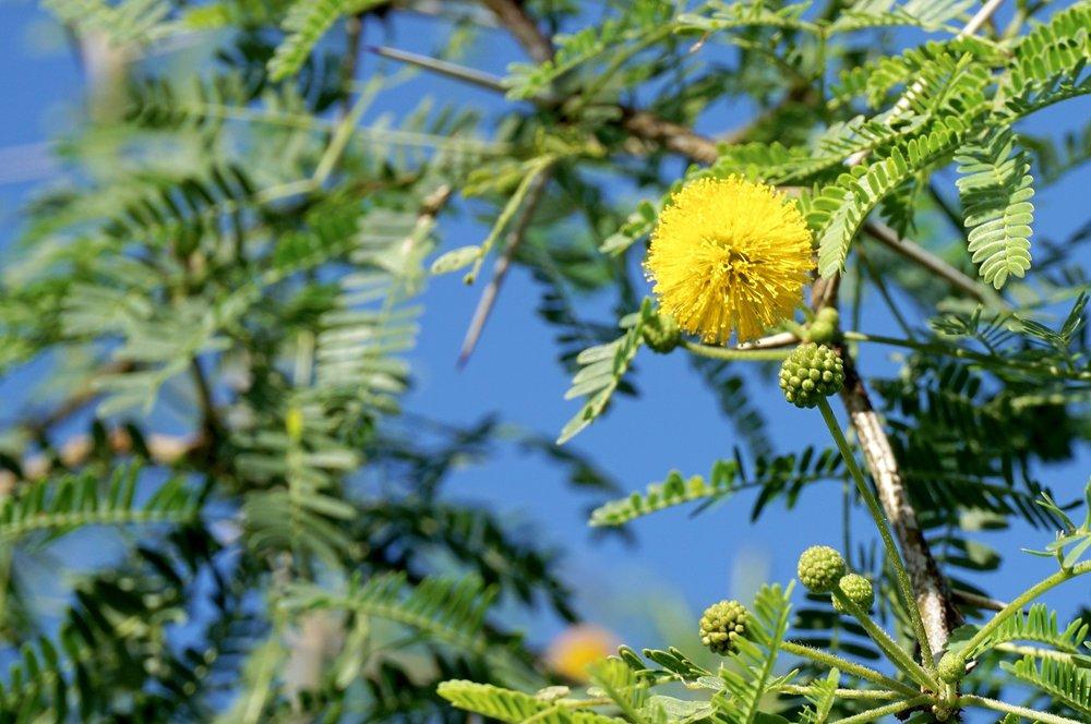 - Vachellia farnesianasweet acacia